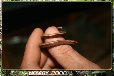 anguis fragilis Orvet-01