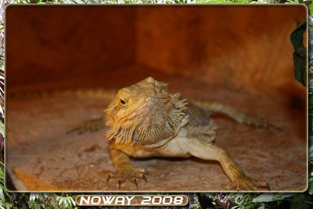 mes pogonas adultes Pogo-femelle-02-01