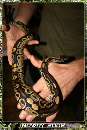 python regius Regius-02