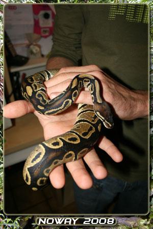 python regius Regius01